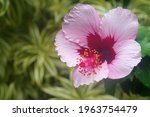 Bright Red And Pink Hibiscus In ...