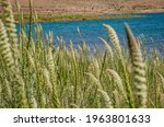 Reseda Luteola On The Shore Of...