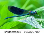 The Blue Dragonfly Sits On A...
