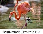 A Beautiful American Flamingo...