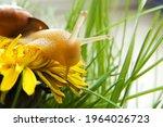 A Snail On A Yellow Dandelion...