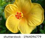 A Yellow  Single Petaled...