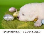 white small samoyed puppy dog...   Shutterstock . vector #1964456560