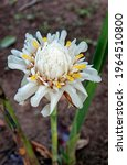 White Torch Ginger Flower ...
