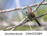 Singing song sparrow perched on a branch.