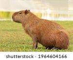 Portrait Of One Single Capybara ...
