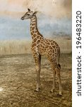 Giraffe  Camelopard Young Animal