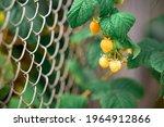 Yellow Raspberries Near The...