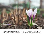 White And Purple Crocuses....