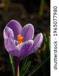 Blossom Purple Crocus Flower In ...