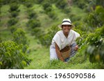 young woman picking up coffee beans in Colombia