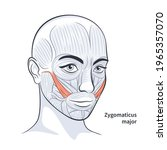 facial muscles of the female....   Shutterstock .eps vector #1965357070