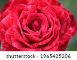 Red Marble Rose Spray With A...
