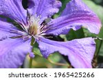 Clematis Flower After The Rain...