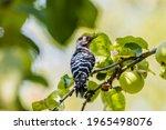 Woodpecker Little Woodpecker...