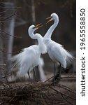 Great White Egret Mating Pair