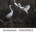 Great White Egret Pair Nest...