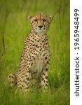 Cheetah Sits In Long Grass...