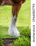 Front Legs And Hoofs Of Draft...