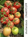 Red Ripe Table Tomato In My...