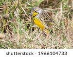 Yellow Throated Longclaw....