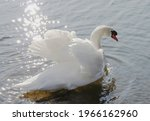 Swimming Mute Swan Against The...
