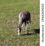 Blesbok Grazing In A Meadow.