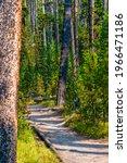 Hiking Trail Through Pine...