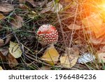 A Close Up Of A Fly Agaric...