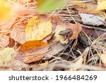 Small Gray Tree Frog Sits On...
