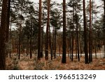 A Forest Scenery With Pinewood...