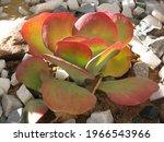 Echeveria Succulent   The...