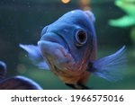 Colorful Tropical Fish Looking...