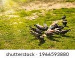 Landscape. Birds  Pigeons...