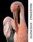 Great White Pelican With Pink...