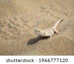 Calm Desert Roundhead Lizard On ...
