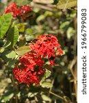 Red Ixora Flowers Close Up ...