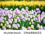 Spring Meadow With A Lot Of...