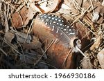 Guinea Fowl Feather Lying On A...