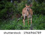 A Female Nyala Antelope Seen On ...