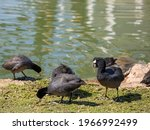 American Coot Ducks Searching...