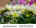 A Lot Of White Green Daisies