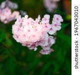 Small photo of Garden phlox (Phlox paniculata), vivid summer flowers. Blooming branches of pink phlox in the garden on a sunny day. Soft blurred selective focus.