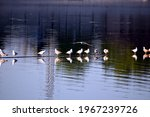 Wild Seagulls On Lake Jarun