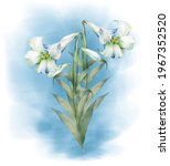 Watercolor Painting Of  White...