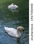 Two Graceful White Swans Swim...