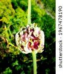 onion flowers on a bush in a...   Shutterstock . vector #1967478190