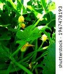 zucchini flowers on a bush in a ...   Shutterstock . vector #1967478193