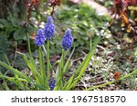 Blue Grape Hyacinth Flowers ...