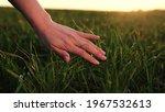 Farmer's Hand Touches Wheat...